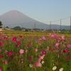 コスモスと富士