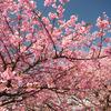 河津桜満開