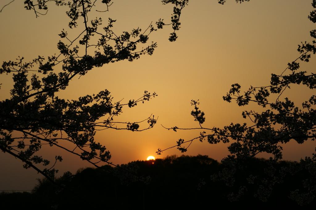 夕暮れのさいたま桜
