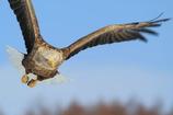 オジロワシの飛翔