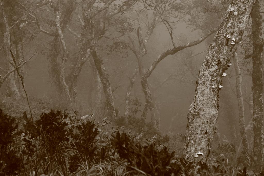 霧中の老木