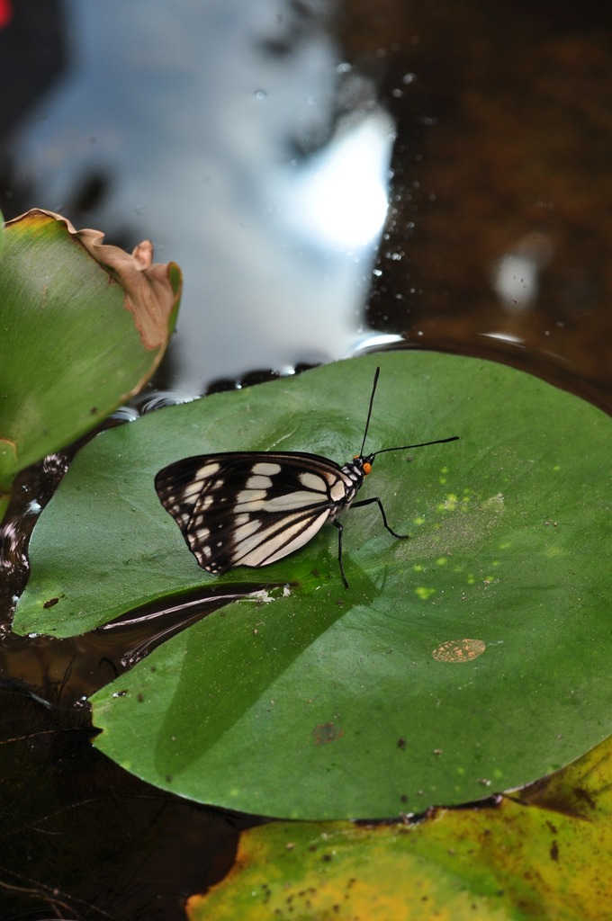 水辺のゴマダラチョウ