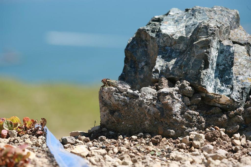 岩上のセミ