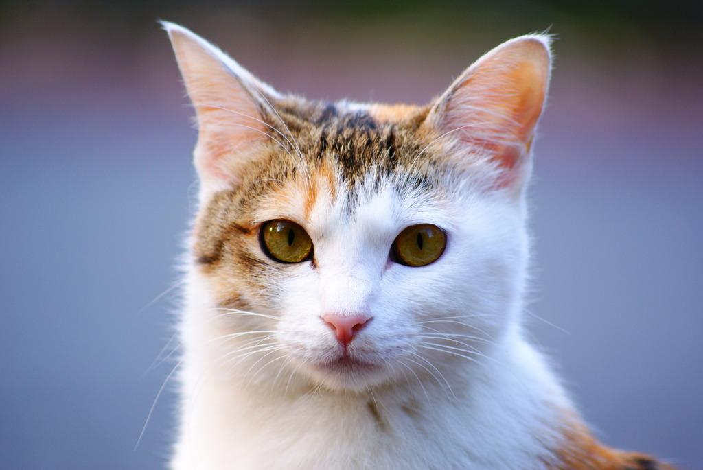 猫ポートレート No.007