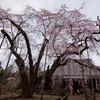 樹齢300年