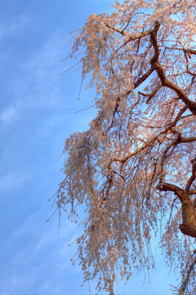 夕日に染まる枝垂れ桜