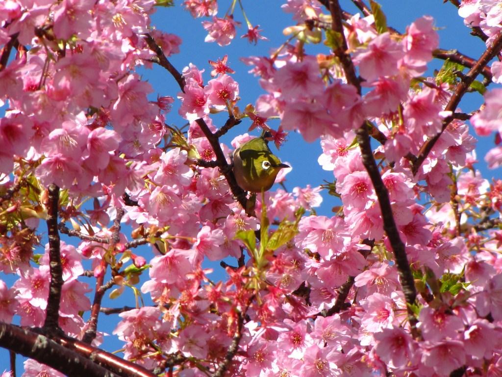 河津桜 メジロ