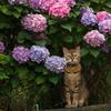 紫陽花と生真面目な猫