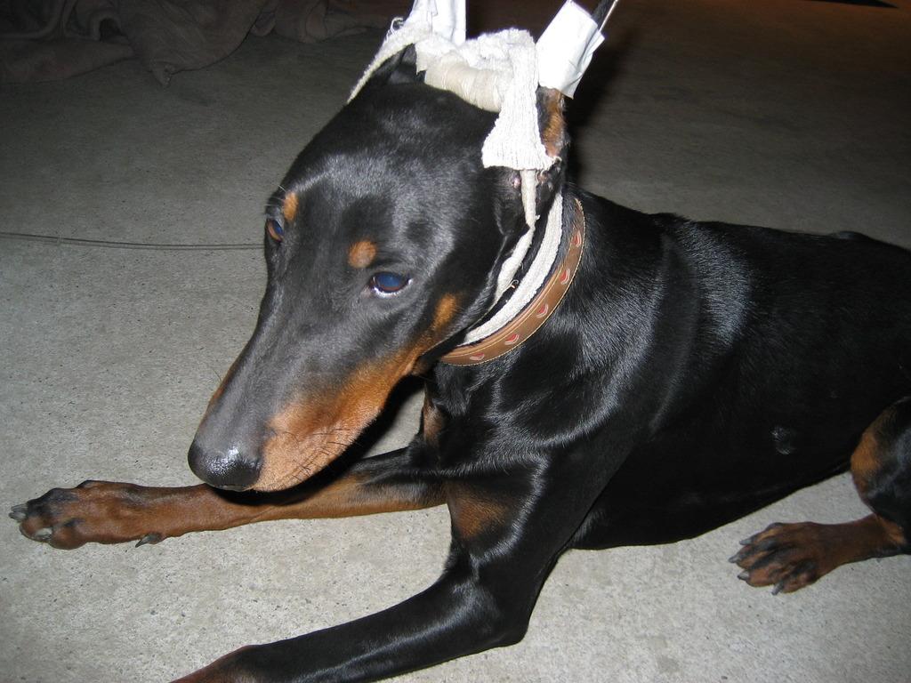 愛犬ドーベルマン
