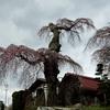 乙事の枝垂れ桜