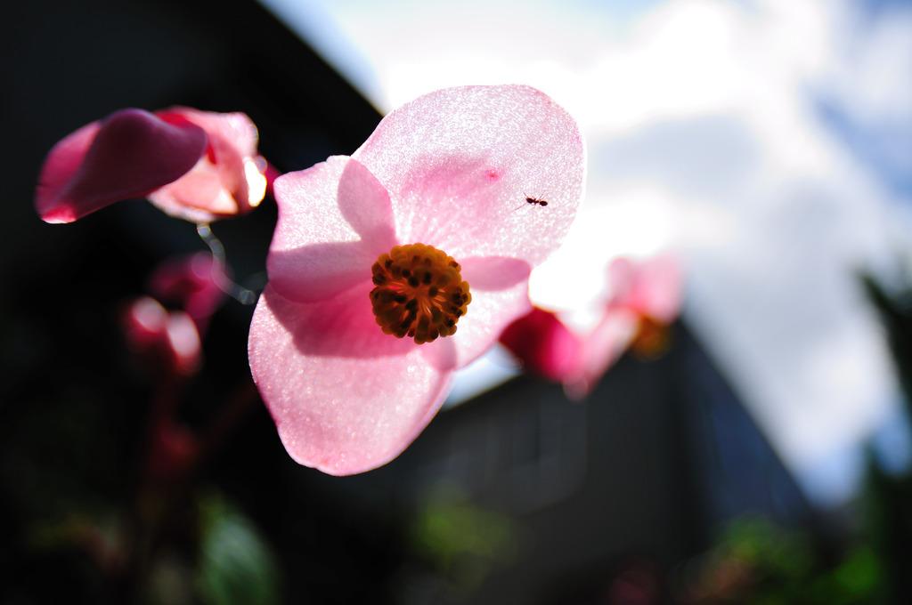 透けるピンク