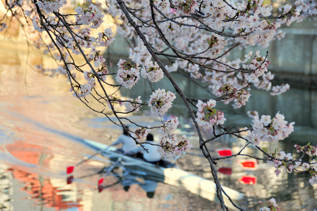 桜レガッタ