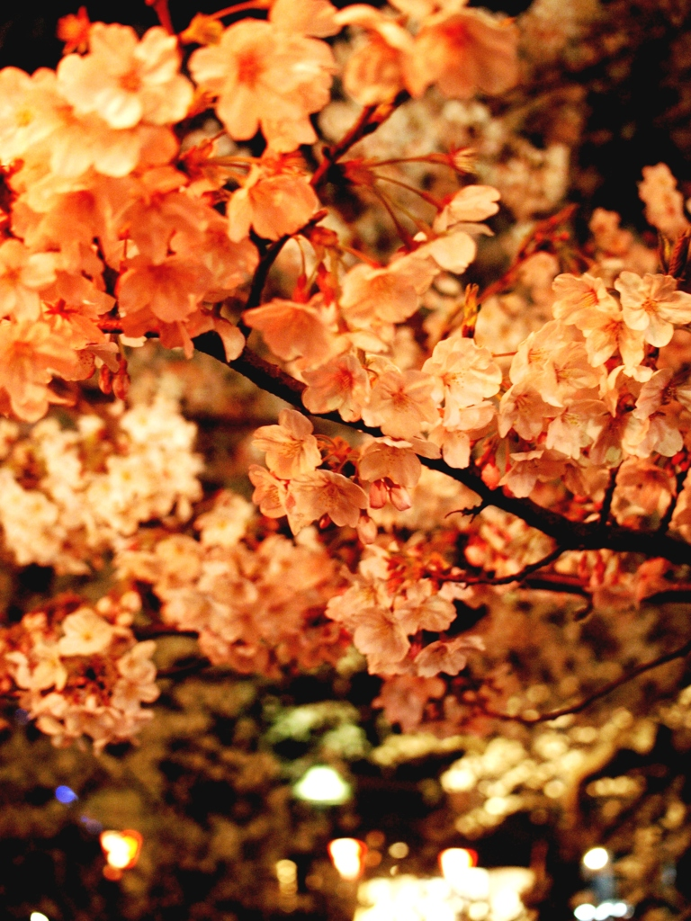 Cherry Blossoms at night 1