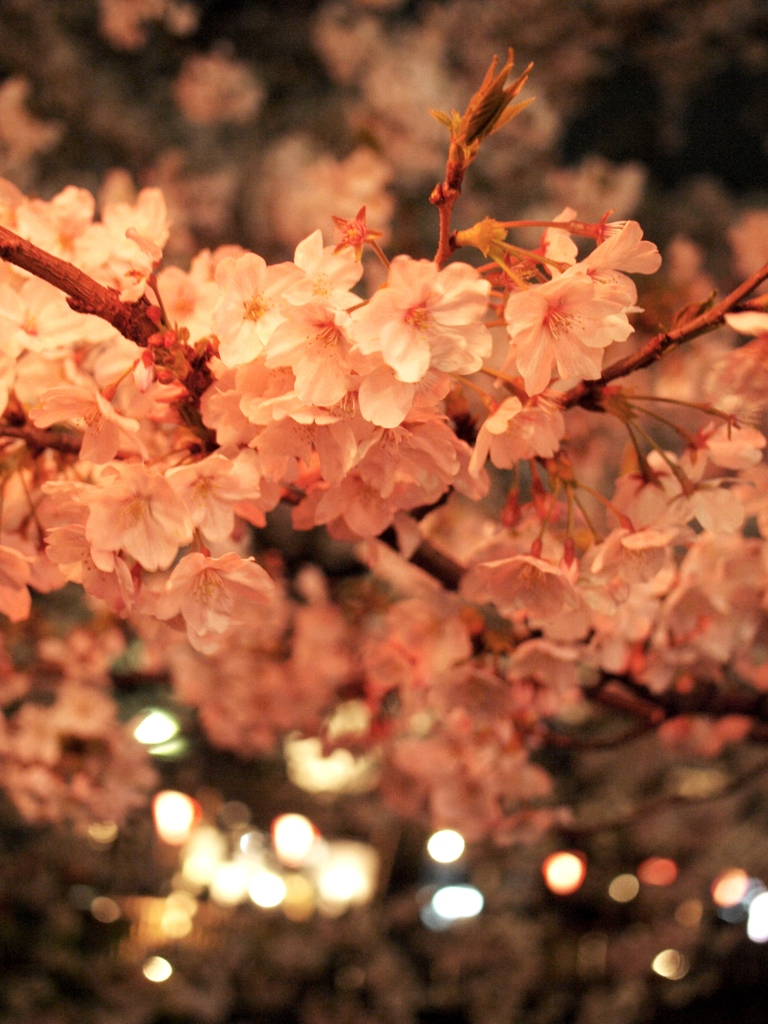 Cherry Blossoms at night 2