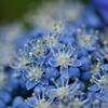 紫陽花マクロ
