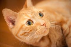 蒼い瞳の猫