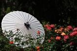 薔薇に和傘