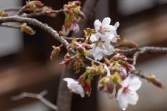 自宅の桜。