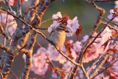 自宅の桜と野鳥。