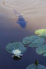 日向の鯉と日陰の睡蓮