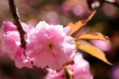 八重の桜ひかる