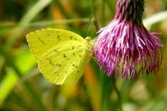 湿原の生き物たち~キチョウ