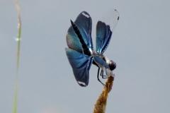 湿原の虫たち~逆さチョウトンボ