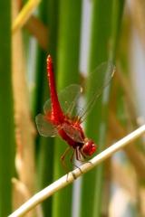 湿原の虫たち~ショウジョウトンボ