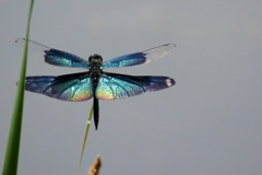 湿原の虫たち~チョウトンボ