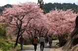 河津の桜並木~春爛漫