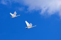 白鳥 輝く翼で