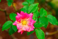 秋薔薇マスケラード (旧古川庭園)