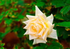 秋薔薇バニラパヒューム (旧古川庭園)