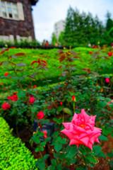 秋薔薇ハーモニーと洋館 (旧古川庭園)