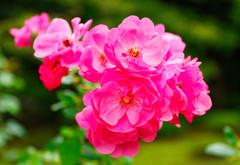 秋薔薇アンジェラ (旧古川庭園)