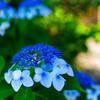 額紫陽花 (向島百花園)