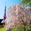 東京タワーバックに枝垂桜 増上寺にて