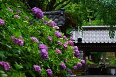 金沢の紫陽花寺