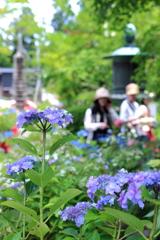 癒される紫陽花寺の初夏