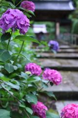 お経が流れる本興寺の紫陽花