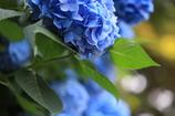 卯辰山主役は紫陽花に、、