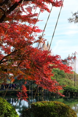 久しぶりの兼六園紅葉と雪つり