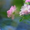 秋空とバラ-Ⅱ