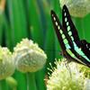 蝶とネギ坊主-Ⅳ