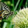 蝶とネギ坊主-Ⅰ