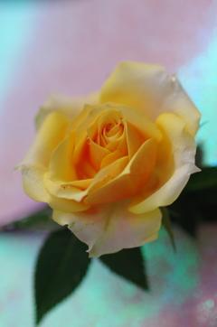 花言葉...薄れゆく愛