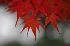 晩秋の紅葉-3