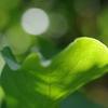 木蓮の葉…夏