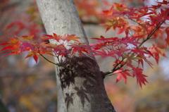 晩秋の紅葉-1