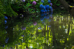 濠の紫陽花